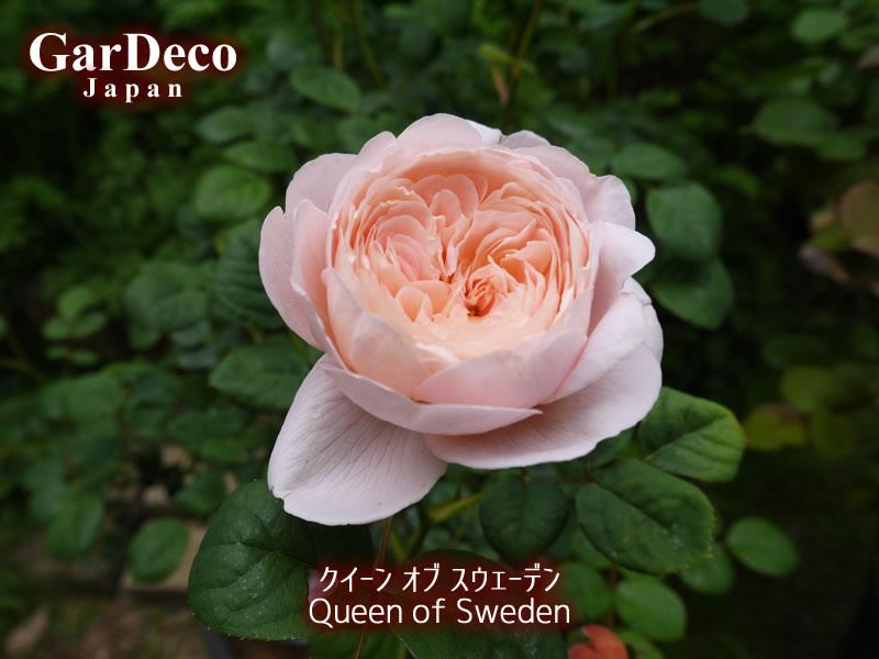 クイーンオブスウェーデンの写真・画像