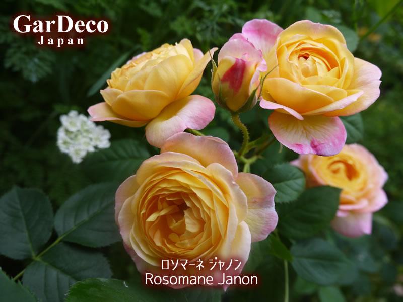 ロソマーネジャノン(バラ)の写真・画像