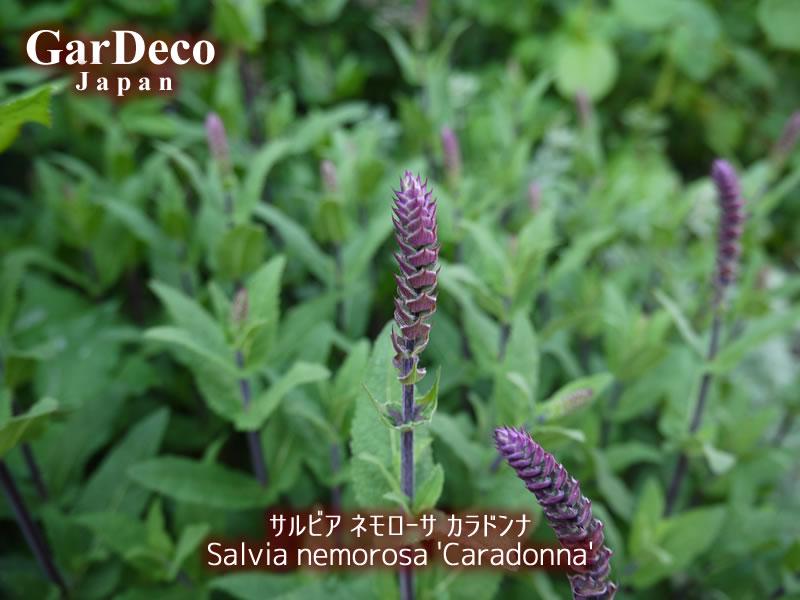 サルビア・ネモローサ・カラドンナの花穂