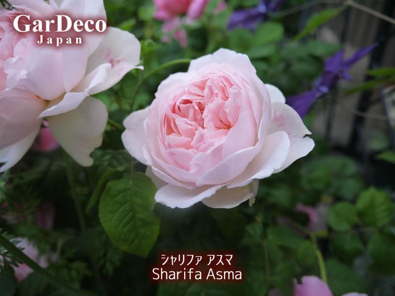 シャリファアスマの写真・画像