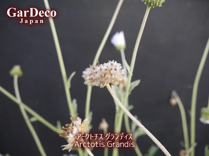 アークトチスグランディスの種取りのタイミング
