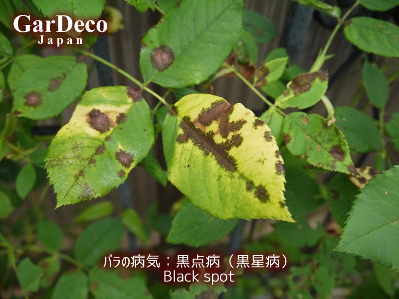 バラの病気:黒点病(黒星病)の写真・画像