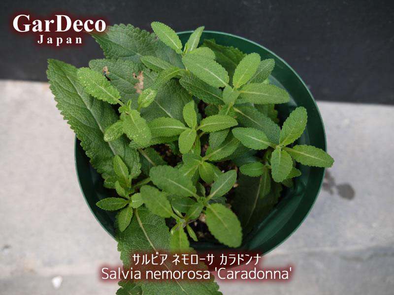 サルビアネモローサカラドンナの挿し木(挿し芽)