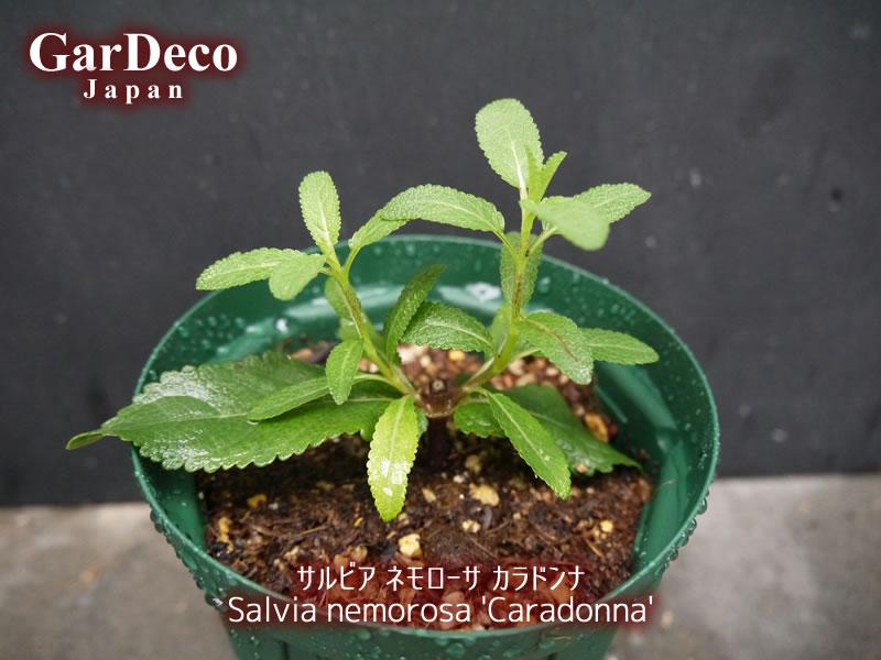 サルビアネモローサカラドンナの挿し木(挿し芽)を鉢上げしました。