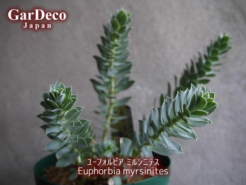 ユーフォルビア・ミルシニテス( Euphorbia myrsinites )の写真・画像