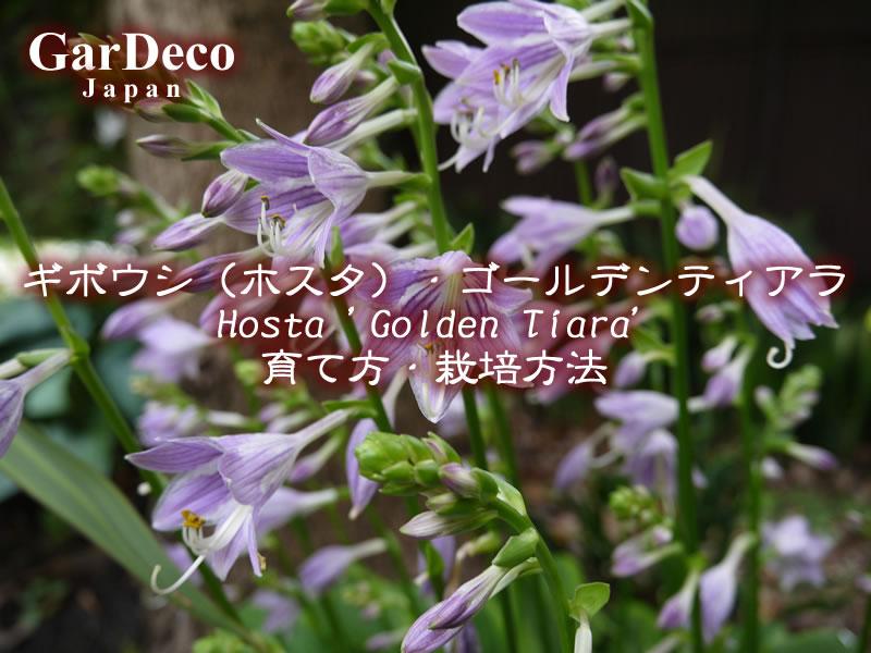 ギボウシ(ホスタ)・ゴールデンティアラの育て方・栽培方法