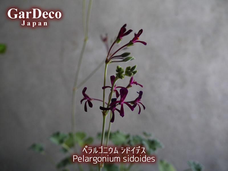 ペラルゴニウム・シドイデス( Pelargonium sidoides )の花