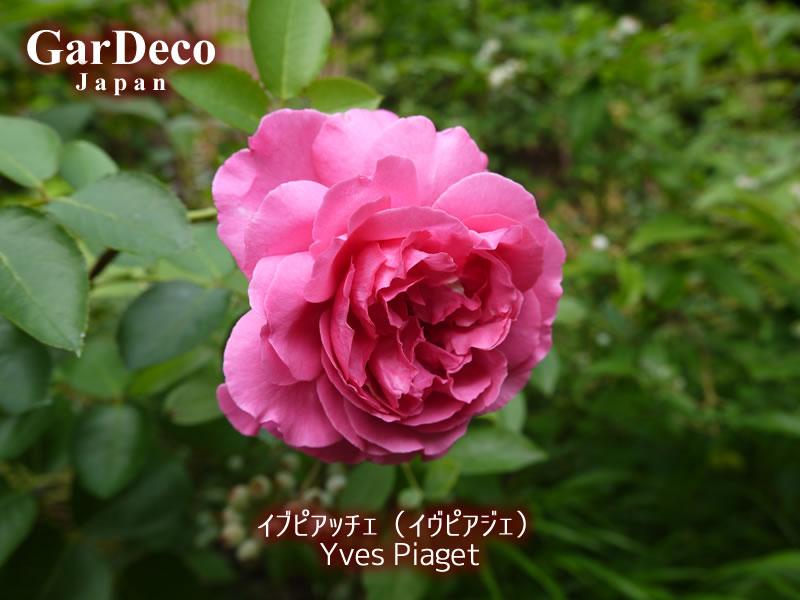 イブピアッチェ(イヴピアジェ)の二番花