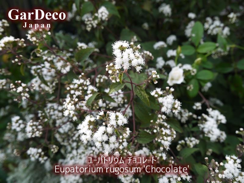 ユーパトリウムチョコレートの花